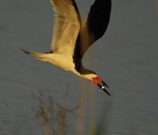 skimmers-egrets-6-29-2008_062908_4560.jpg