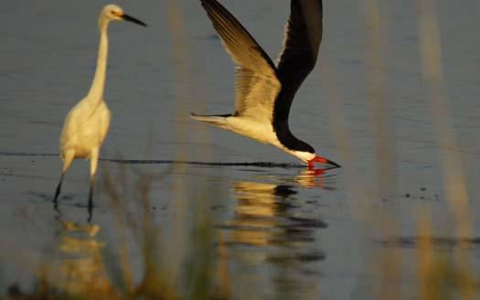 skimmers-egrets-6-29-2008_062908_4573.jpg