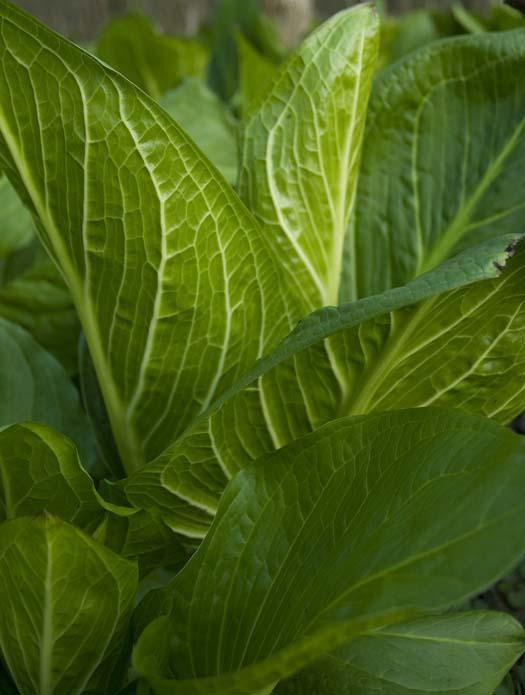 skunk-cabbage-4-11-2008_041108_2695.jpg