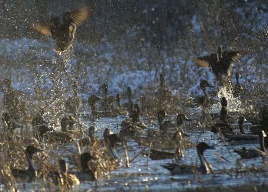 snow-ducks-eagle-heron-12-6-2007_3150copy1.jpg