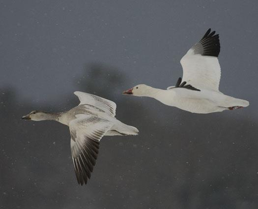 snow-geese-in-snow-3-2-2009_030209_4300