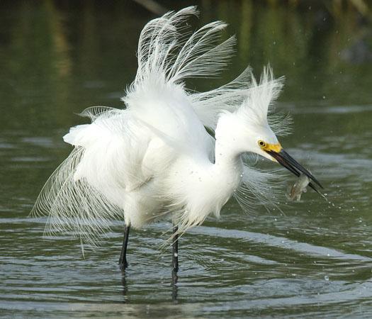 snowy-egrets-6-20-2009_062009_2491