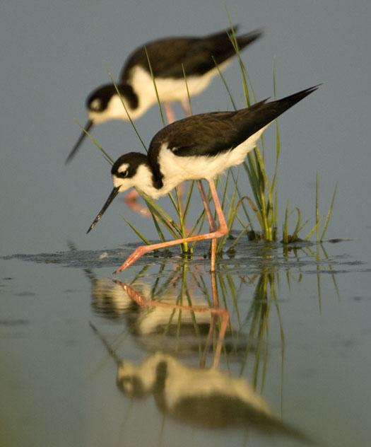 stilts-yellow-legs-7-1-2008_070108_4851