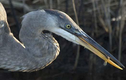 sunrise-1-13-2008-heron-fishing-fowler_5556copy1.jpg