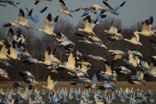 sunset-1-18-2008-snow-geese-sun-setting-primehook_5858copy1.jpg