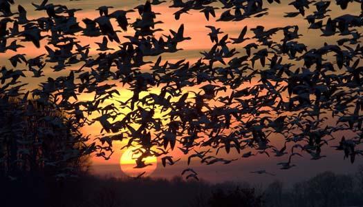 sunset-1-28-2008-shovelers-marshhawk-snow-geese_6828copy1.jpg