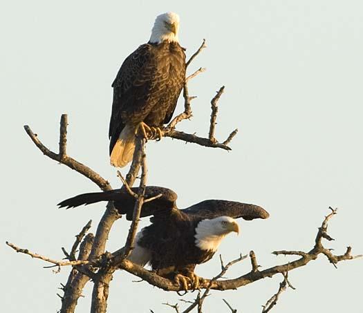 sunset-12-27-2007-2-eagles-heron-primehook_4153copy1.jpg