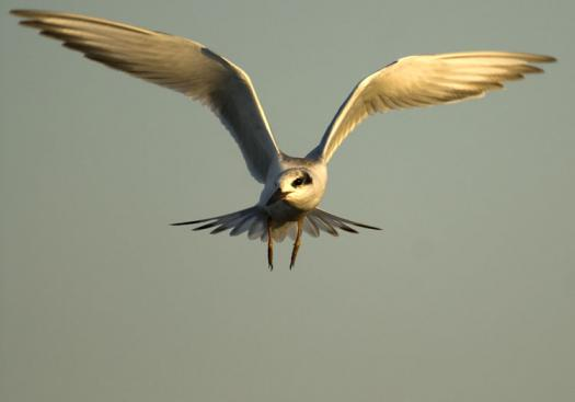 terns-egrets-10-2-2008_100208_0021.jpg