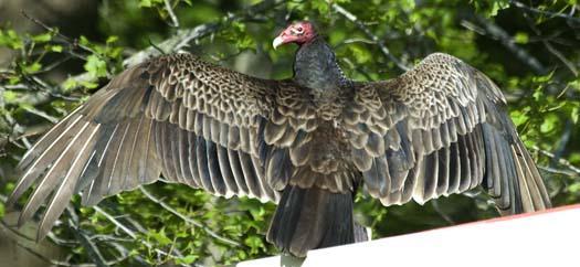 vulture-5-17-2008_051708_6626.jpg