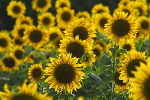 vulture-sunflowers-hibiscus-8112009_081109_56581